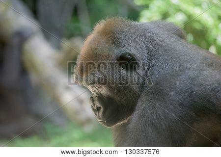 Gorilla Ape Monkey Close Up Portrait
