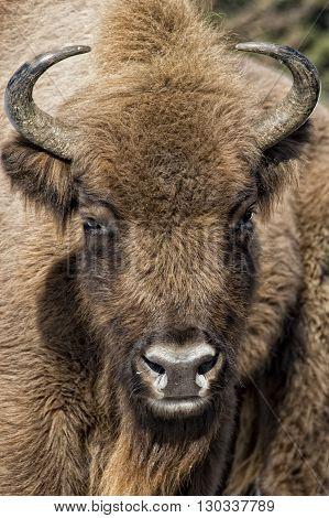 European Bison Close Up On Snow