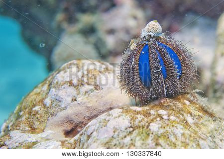 An Isolated Blue Sea Urchin While Climbing On A Rock