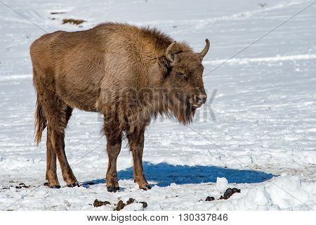 European Bison On Snow Looking At You
