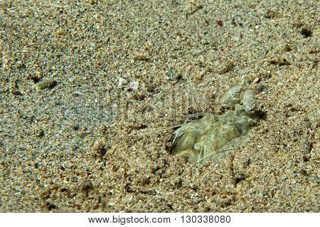 Mantis Lobster Defending Eggs In Its Nest