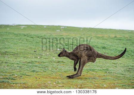 Kangaroo Portrait While Jumping