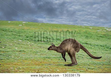 Jumping Kangaroo Portrait Close Up Portrait