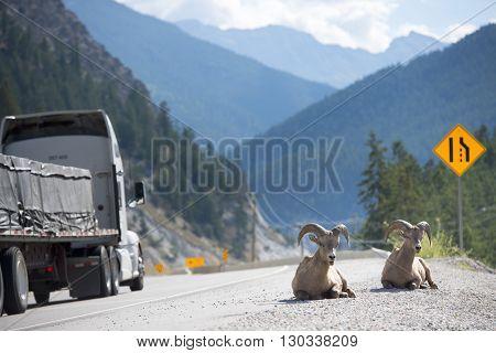Big Horns Near Highway