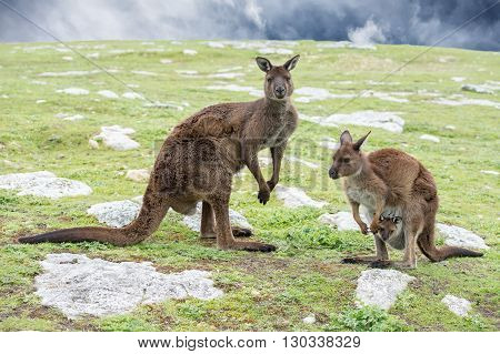 Kangaroos Mother Father And Son Portrait