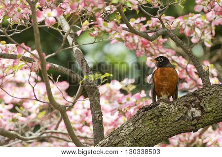 American Robin On Cherry Blossom Background