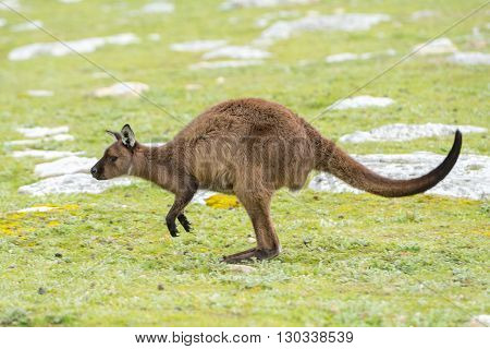 Kangaroo Portrait While Jumping On Grass