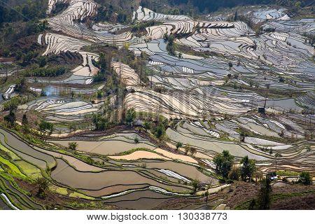 Rice fields on terraced of Laohuzui ,Yunnan,China