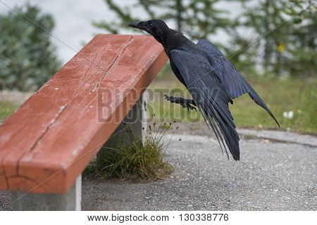 Raven While Jumping On A Bench