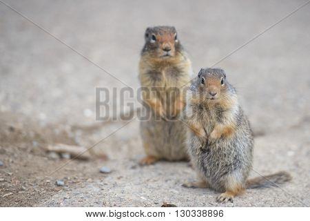 Ground Squirrel Portrait