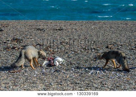 Grey Fox Eating A Penguin On The Beach