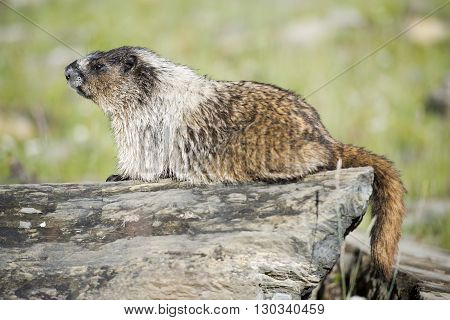 Canadian brown and white Marmot Portrait close up