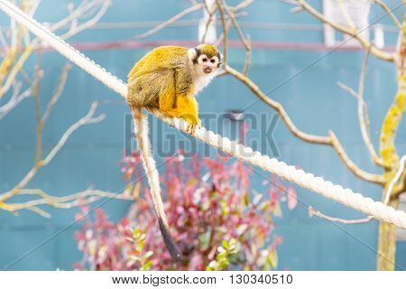 Close-up portrait of Common Squirrel Monkey showing tongue, sitting on the tree