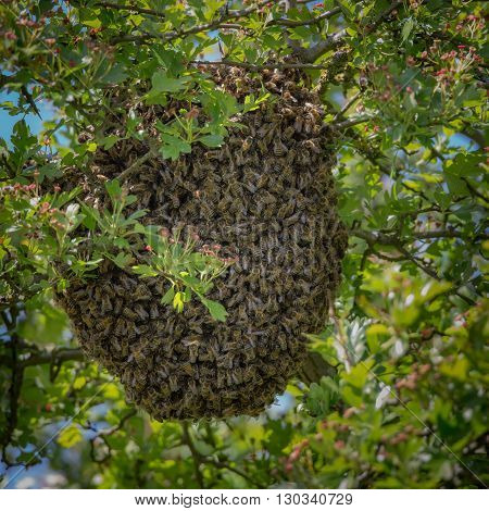 honey bee swarming in large group in hawthorn tree
