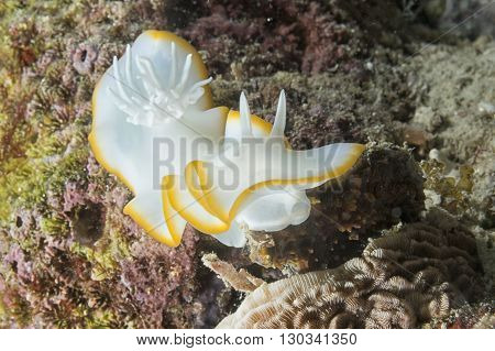 White Nudibranch
