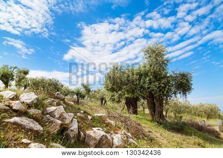 Summer vacation background with greek island Thassos, olive trees and blue cloudy sky, Greece