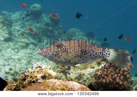 An Isolated Harlequin File Fish Looking At You While Swimming In The Deep Blue Sea