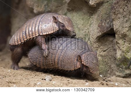Armadillo Portrait