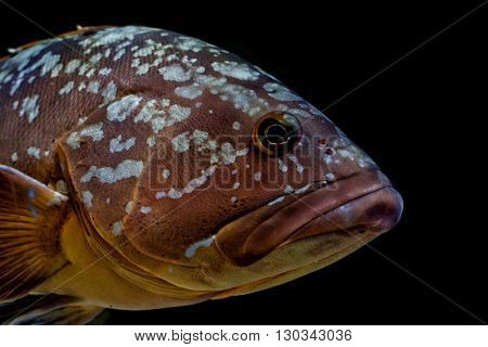 An isolated an black colorful grouper close up