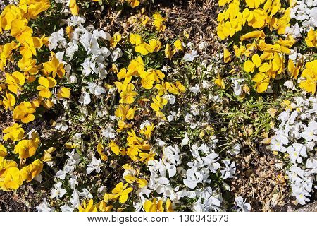 The pansy is a group of large-flowered hybrid plants cultivated as garden flowers. White and yellow pansies in the garden. Beauty in nature. Flower bed. Natural background.