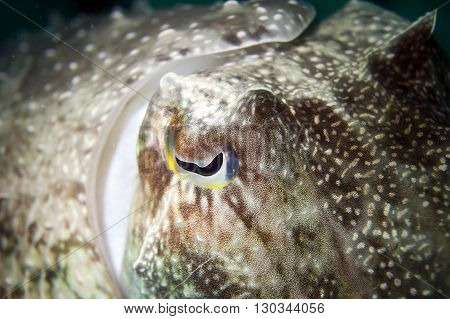 An Isolated Close Up Colorful Squid Cuttlefish Underwater With Big Eye Macro In Borneo, Malesya