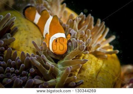 A Clown Fish While Looking At You Portrait