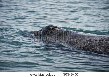 Grey Whale Mother And Calf