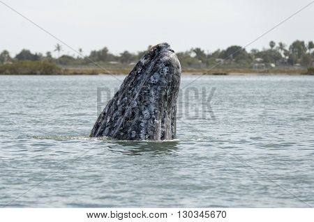 Grey Whale Mother Nose Going Up