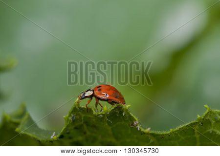 Ladybug walking on leaf edge close up portrait macro