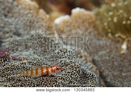 A Colorful Fish On Hard Coral Macro In Cebu Philippines