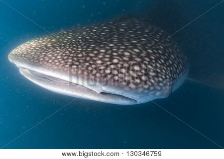 Whale Shark Scuba Underwater Portrait