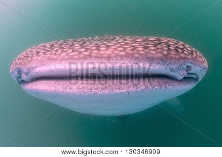 Whale Shark Aportrait Underwater