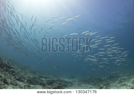 Barracuda School Of Fish Close Up In The Deep Blue Sea