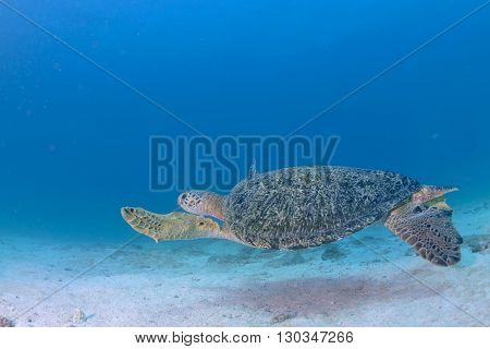 Turtle Coming To You Underwater