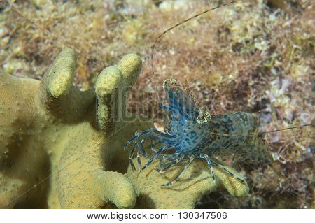 A Blue Shrimp In Cebu Philippines