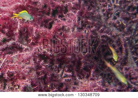A Colorful Fish On Gorgonia Coral In Cebu Philippines