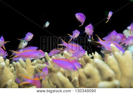 A School Of Violet Fish Over A Hard Coral In Cebu Philippines