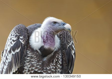 Isolated vulture buzzard looking at you close up