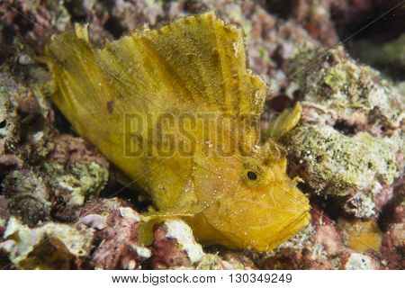 Yellow Leaf Fish In Cebu