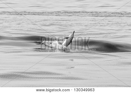 Dolphin Jumping Outside The Ocean