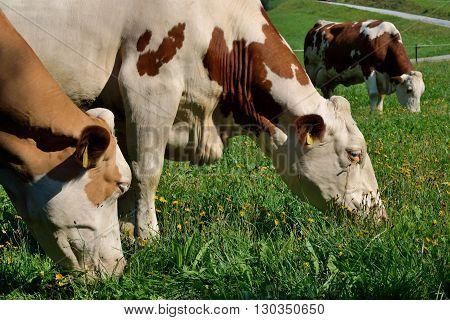 Simmental in animal welfare on juicy meadow