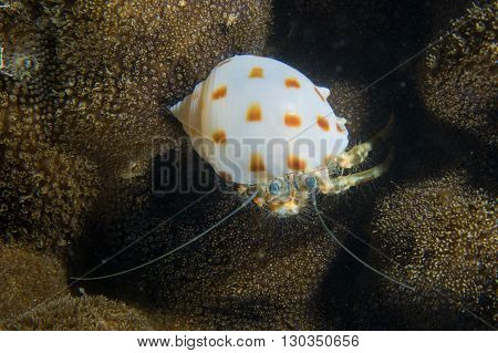 A White And Orange Shell Crab Over A Hard Coral In Cebu Philippines