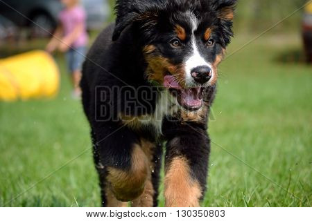 cutesy little Bernese mountain dog running on the lawn