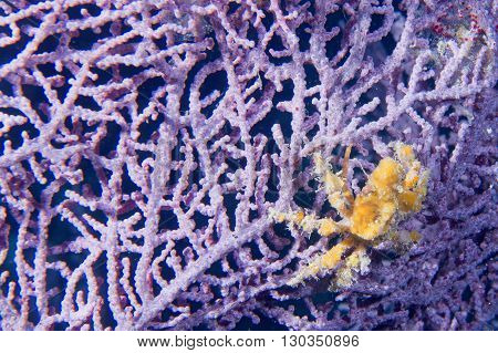A Orange  Crab Over A Violet Hard Coral In Cebu Philippines