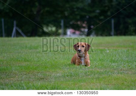 brown little dachshund is in the meadow waiting