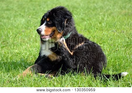fluffy young Bernese Mountain dog Scratching - action
