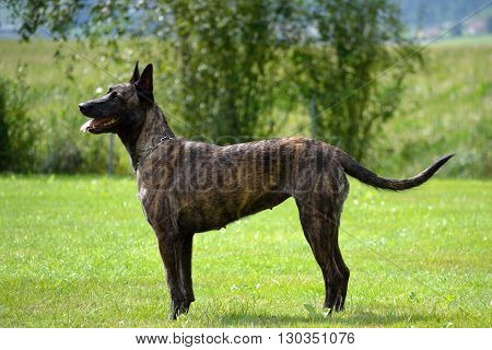 brown belgian shepherd stands still - side profile