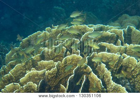A School Of Green  Fish Over A Hard Coral In Cebu Philippines