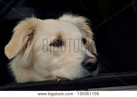 white golden retriever sitting in the trunk - portrait