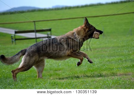 German shepherd running with piece of wood